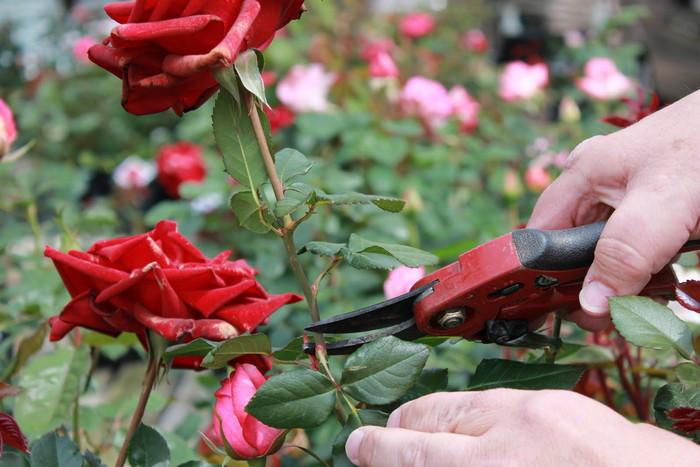 срезка роз на букет